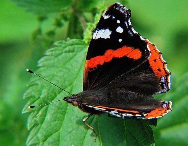 Как выглядит бабочка адмирал