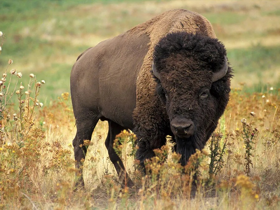 What's the Difference Between Bison and Buffalo? | Britannica