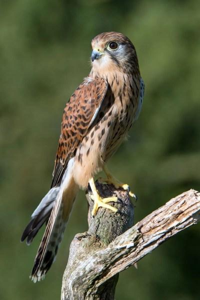 Falcon | bird | Britannica