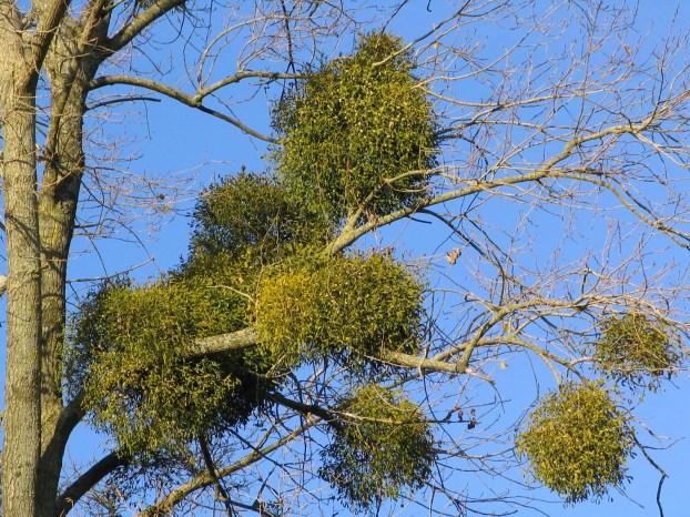Image result for mistletoe