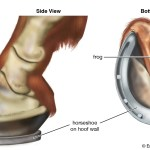 Horse Definition Breeds Pictures Evolution Facts Britannica