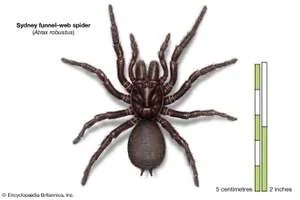 Sydney funnel-web spider (Atrax robustus), arachnids