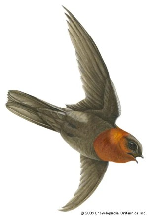 Swift | bird | Britannica