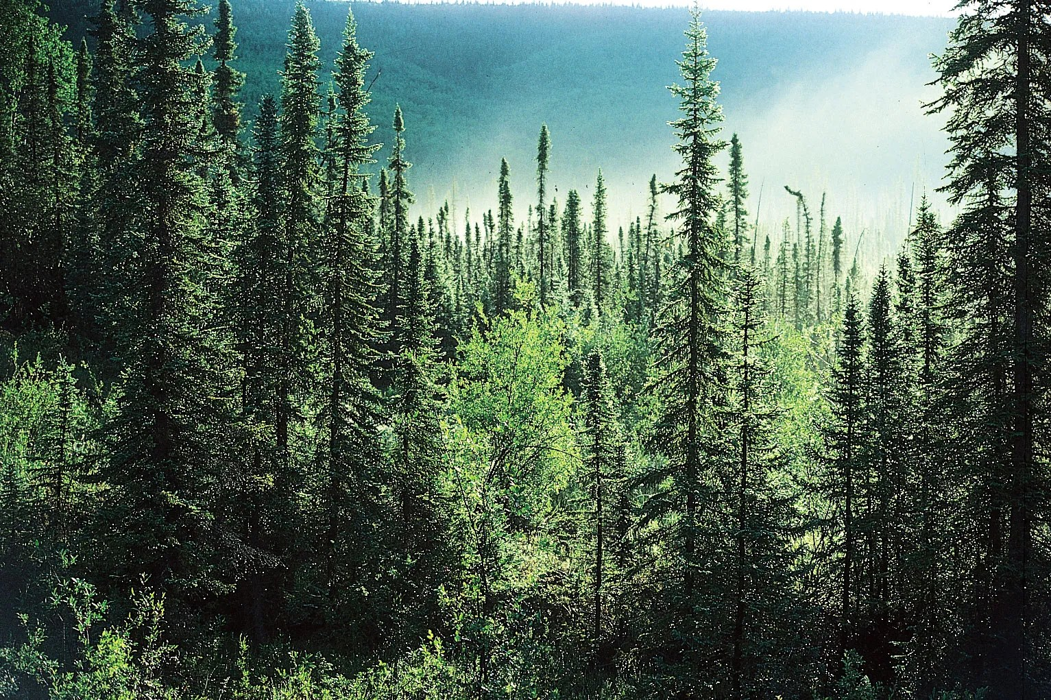 The most obvious division is that we have studied the boreal forest in the southwest yukon with few concurrent studies of the alpine tundra that rises above the forest in every range of mountains. Taiga Plants Animals Climate Location Facts Britannica
