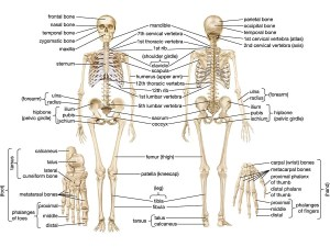human skeleton   Parts, Functions, Diagram, & Facts