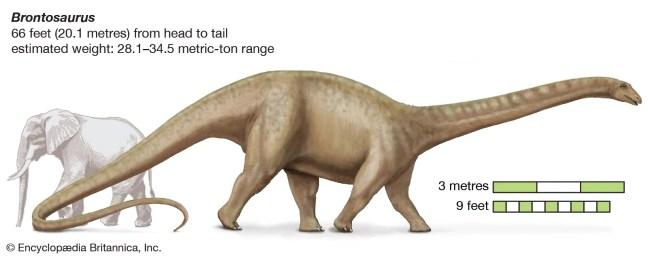 brontosaurus | Size, Habitat, & Facts | Britannica