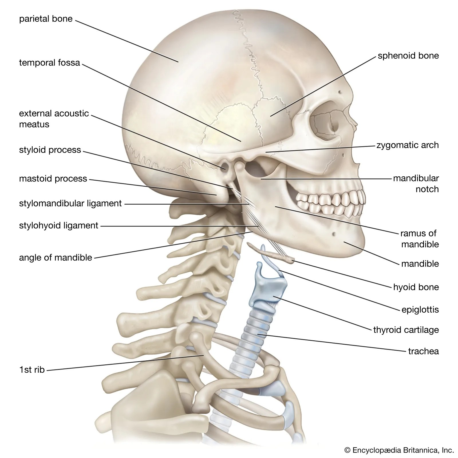 Shoulder Anatomy Diagram Worksheet