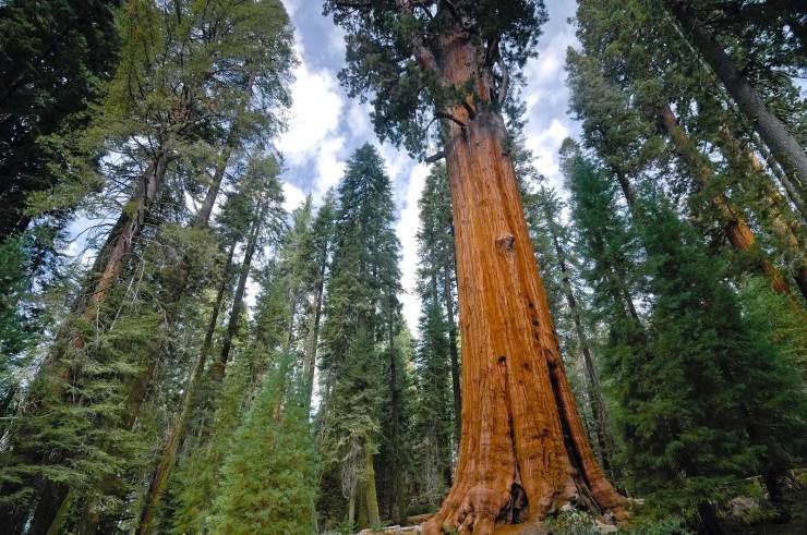 General-Sherman-tree-giant-sequoia-world-Sequoia.jpg (1600×1063)
