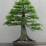 Bonsai Horticulture Britannica