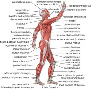 human muscle system | Functions, Diagram, & Facts