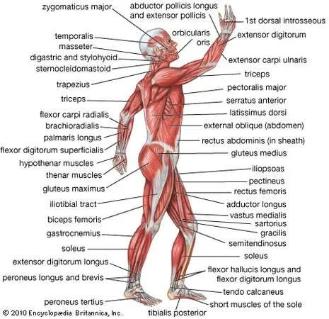 human muscle system | Functions, Diagram, & Facts ...