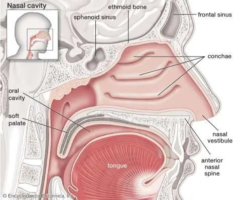Vestibule   of the nose   Britannica.com