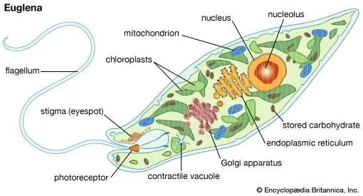 Green Algae Flagella Cell Diagram Mitochondria And Chlorophyll