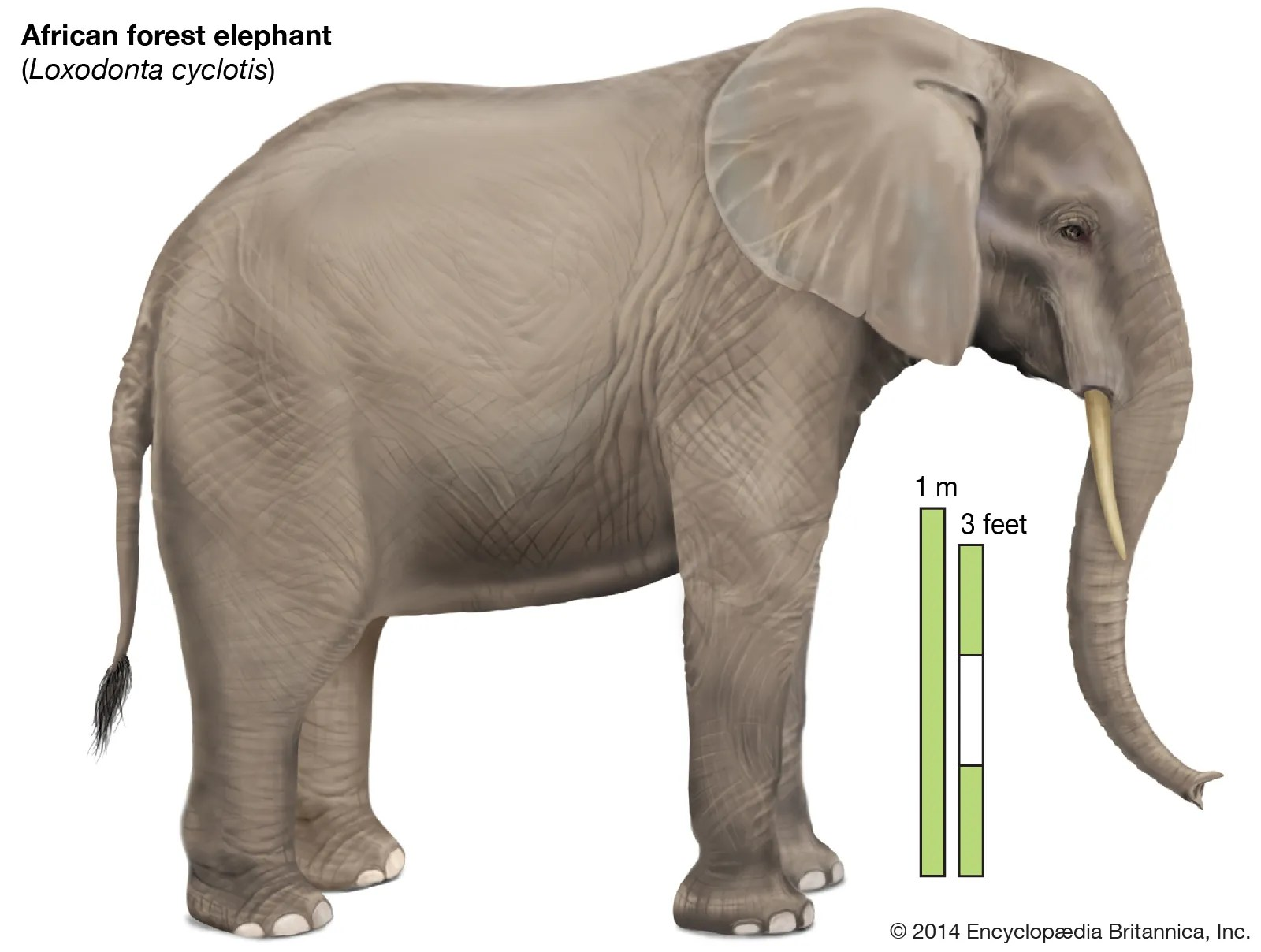 The african forest elephant (loxodonta cyclotis) is an elephant which lives in the forests of the congo basin.it is often considered a separate species from the african bush elephant (loxodonta africana); African Forest Elephant Mammal Britannica