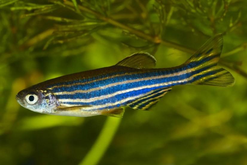 danio zebrafish danio zebra fish danio fish types brachydanio rerio brachydanio neon zebra fish rerio pregnant danio fish zebra fish varieties male danio