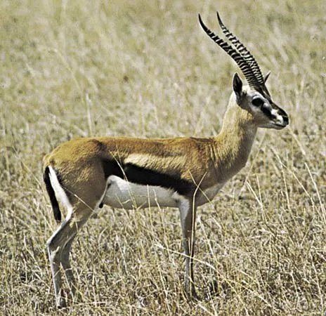 Gazelle | mammal | Britannica.com