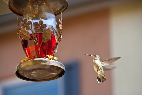 hummingbird-feeding-742919_960_720