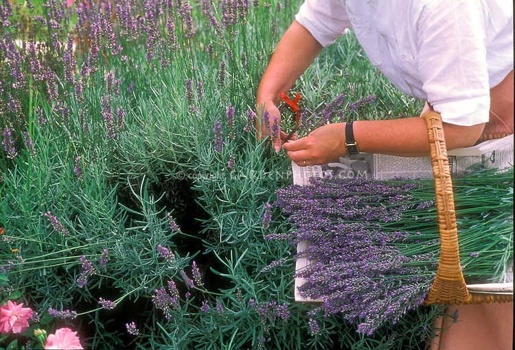 Woman picking lavender flowers in the garden, holding garden basket trug of harvested flower stems