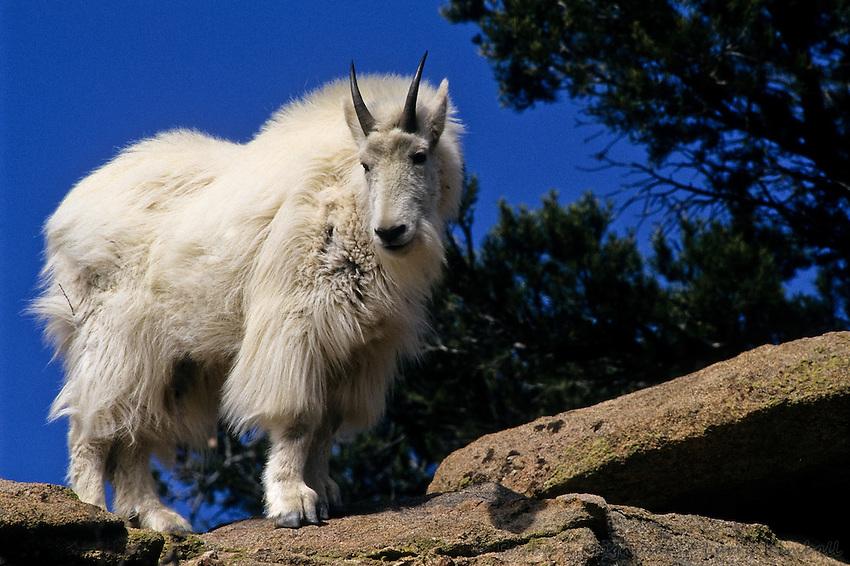 https://i1.wp.com/cdn.c.photoshelter.com/img-get/I0000IrHGEAdaE_0/s/850/850/Mountain-Goat-Oreamnos-americanus-B3GT-1588.jpg