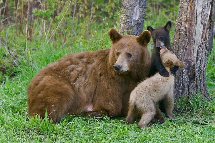 Image result for cinnamon bear