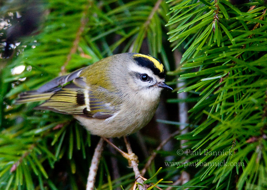 Image result for Golden Crowned Kinglet in british columbia images