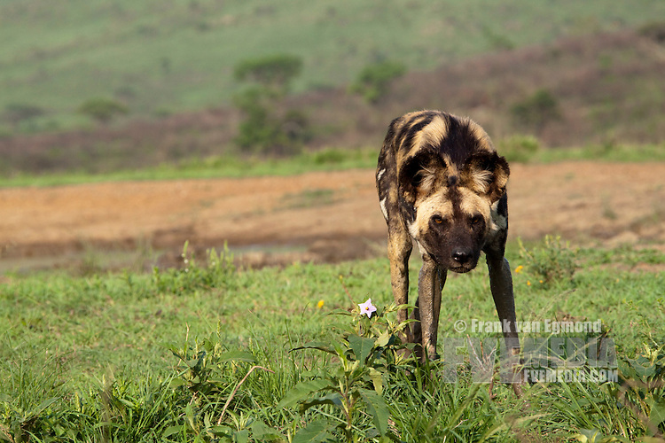 African Wild Dog Marking Its Territory Frank Van Egmond
