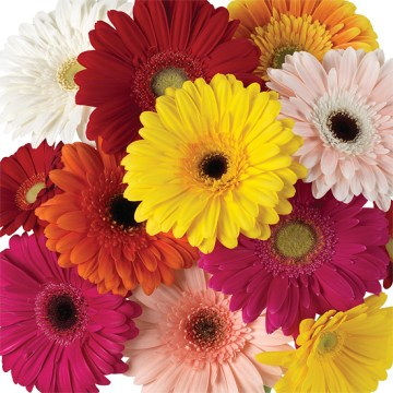 Assorted Rainbow Gerbera Daisies   Calyx Flowers  Inc Assorted Rainbow Gerbera Daisies