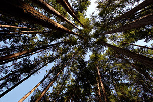 perspective of trees from below