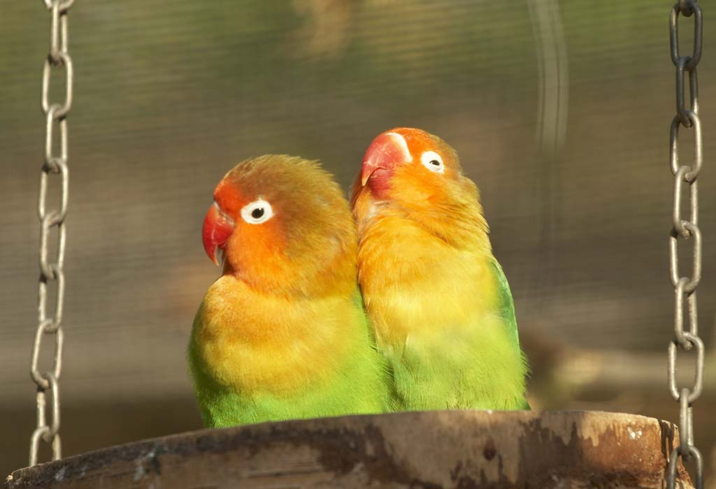 Best Foods For Love Birds Know What To Feed Your Feathery Pets