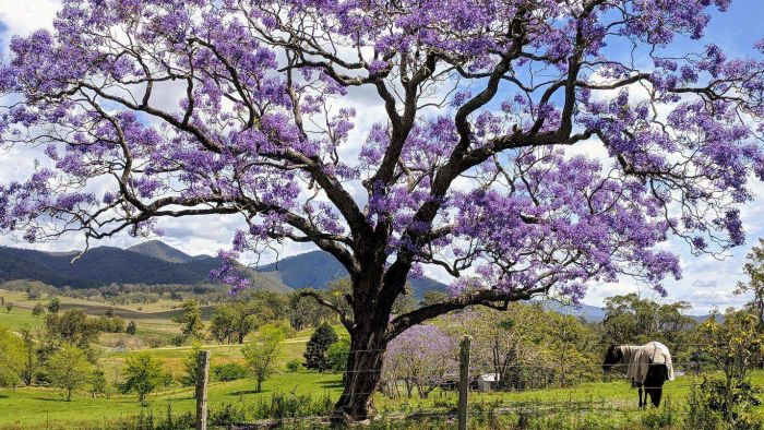 Australia-Why does Australian Jacaranda make people both love and hate? – Australia Chinatown