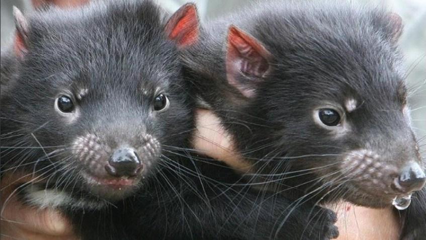 Nacieron ejemplares extintos del demonio de Tasmania