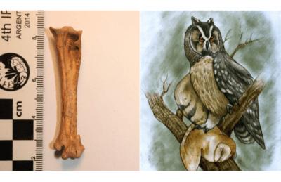 Encontraron el fósil de una lechuza gigante (bestia) que vivió en Sudamérica hace 40.000 años