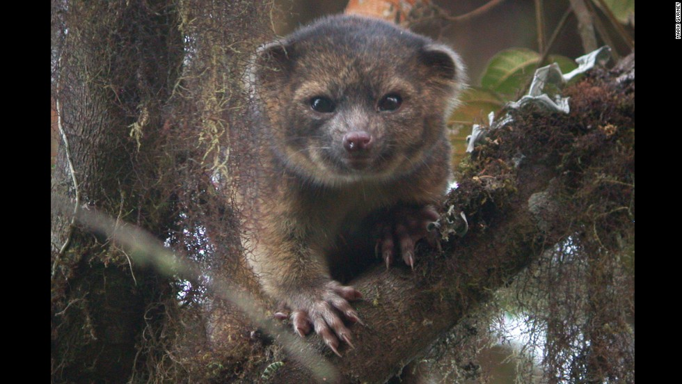 Meet the newest species of mammal known to science, the olinguito. This member of the raccoon family made the top 10 newly named species list, compiled annually by the International Institute for Species Exploration. Click through to see the rest.