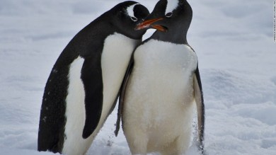 Penguins originated in Australia and New Zealand — not the Antarctic, new study finds