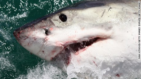 Great white sharks in South Africa on their way to extinction: study