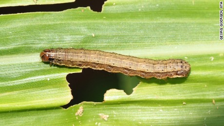 Armyworm invasion destroys crops in southern Africa