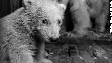 4-month-old Fritz, the beloved Berlin zoo polar bear, dies