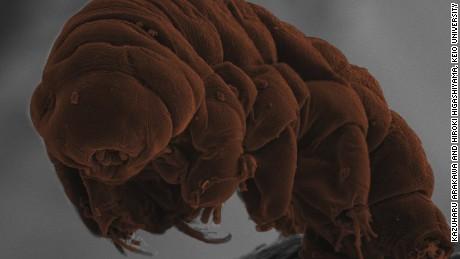 Scanning electron microscope image of the tardigrade species Ramazzottius varieornatus. CREDIT: Kazuharu Arakawa and Hiroki Higashiyama, Keio University