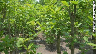 Kratom, or Mitragyna speciosa, is an everygreen plant native to Southeast Asia.