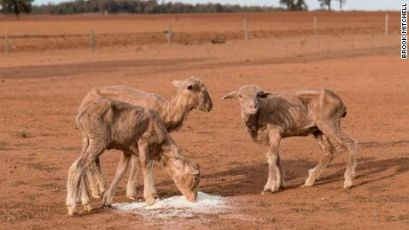 Australia relaxes kangaroo protections as New South Wales battles drought