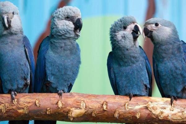 Spix's macaws sit on a branch in their aviary at the Association for the Conservation of Threatened Parrots in Germany.