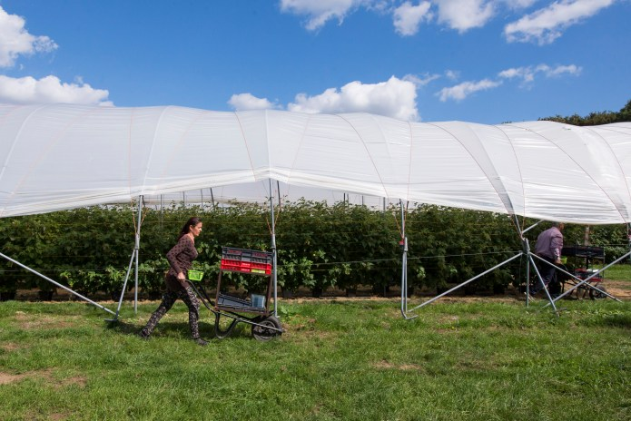 A Romanian picker wheels trays of raspberries past one of Pascall's polytunnels.