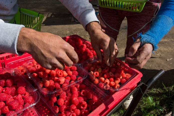Romanian pickers with trays of raspberries on Clock House Farm.