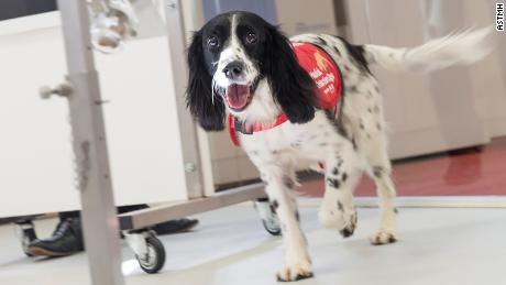 Freya, a springer spaniel who has been trained to detect malaria parasites in socks from children in Gambia.