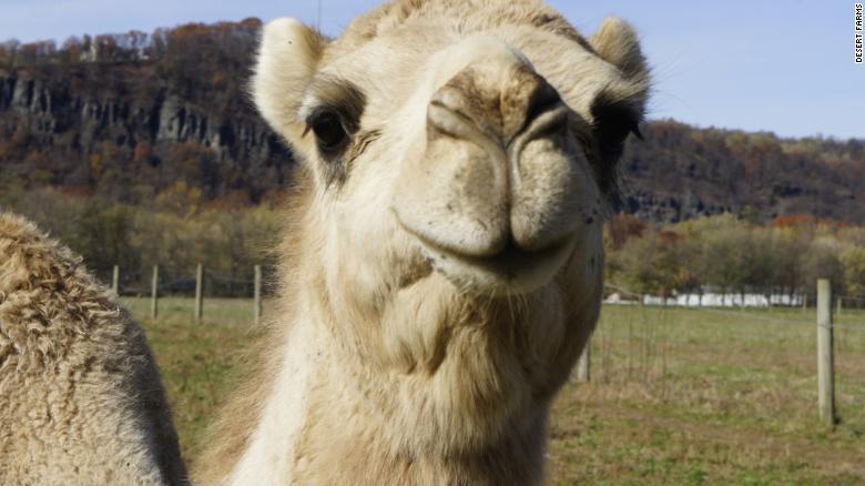 Saudi Entrepreneur and Amish Farmers Bring Camel Milk to US