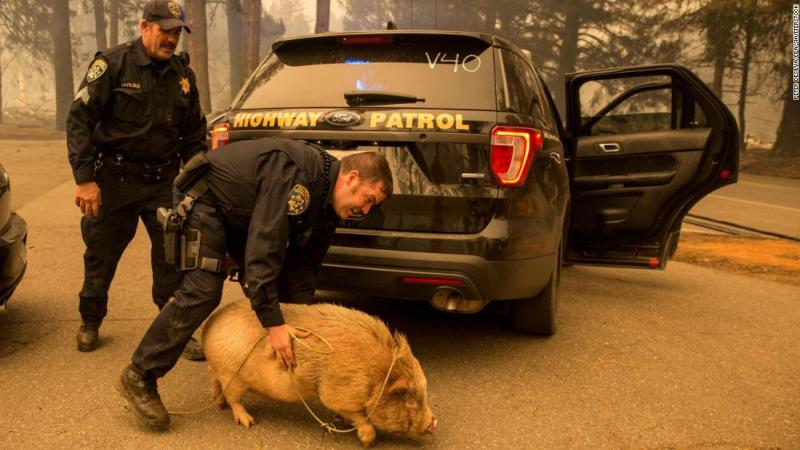 California Highway Patrol officers attempt to transfer a potbelly pig they rescued in Butte County on November 8.
