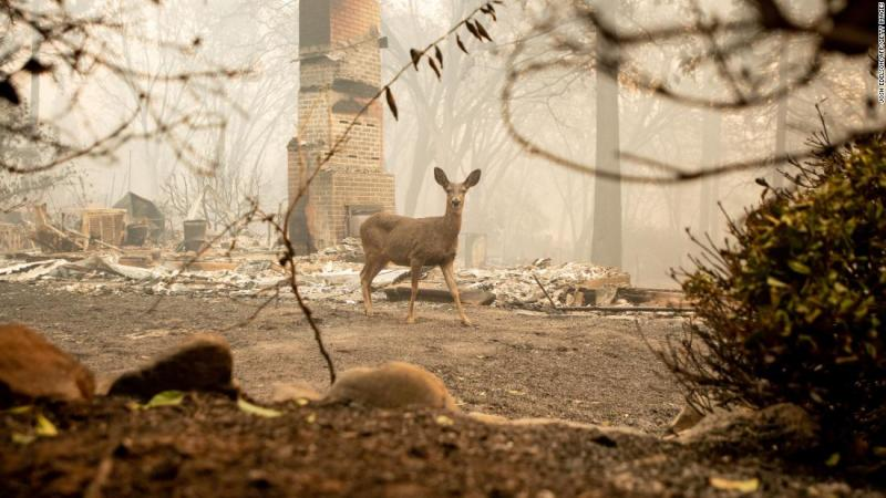 A deer looks on Saturday from a burned residence after the Camp Fire tore through the area in Paradise.