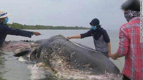 Researchers measure the whale.