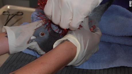 Decine di 'decorata' uccelli trovati morti in Nuova Zelanda