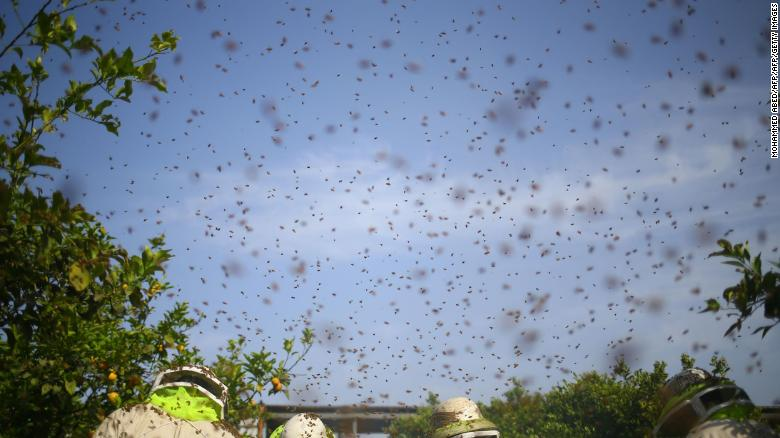 Bees swarm in the sky as Palestinian workers remove frames from beehives to collect honeycombs in the Gaza Strip.
